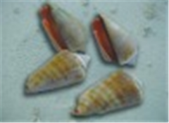 Sea Shell Strombus Luhuanus
