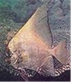 Batavian Batfish