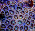 Hard Corals Acanthastrea Lordhowensis