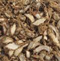 Kaempferia Galanga