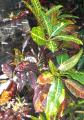 Ornamental plants Papua