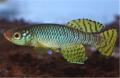 Korthase Yellow Killifish