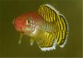 Korthause Red Killifish