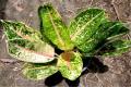 Plants ornamental