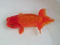 Tropical Goldfish Ranchu