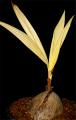 Palm Coconut Golden