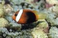 Clown Fish Selection