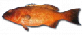 Roving Coral Grouper Fish