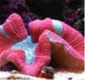 Red Open Brain Coral Trachyphyllia Geoffroyi